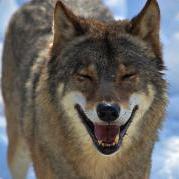 WolfRus
